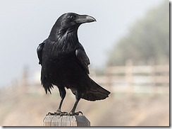Visit from a Raven - Corvus corax by Ingrid Taylar on Flickr